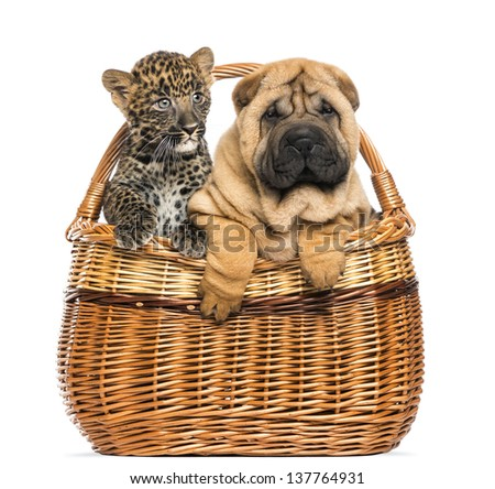 Sharpei puppy and spotted Leopard cub in a wicker basket, isolated on white - stock photo