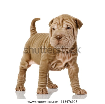 sharpei puppy dog looking at camera. isolated on white background - stock photo