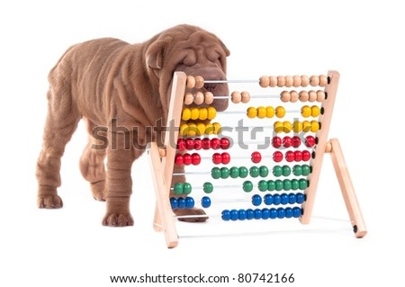 Sharpei puppy is learning how to count, isolated on white background - stock photo