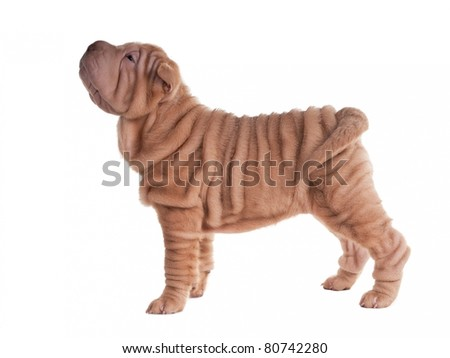 Sharpei puppy standing looking aside isolated - stock photo