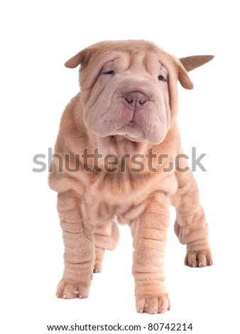 Sharpei puppy standing looking at camera isolated on white background - stock photo