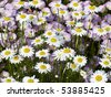 Shasta Daisies with Musk Mallows Behind - stock photo
