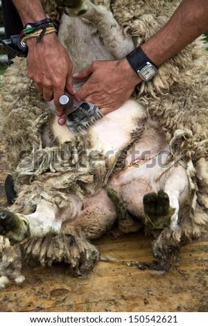 Shaving sheep - stock photo