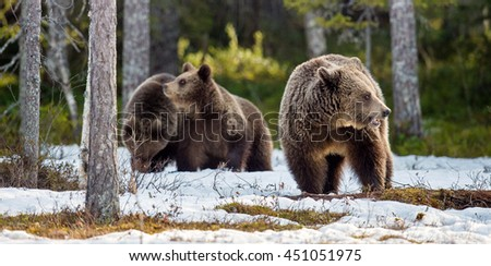 She-bear and bear-cubs. Adult female of Brown Bear (Ursus arctos) with cubs on the snow in spring forest.