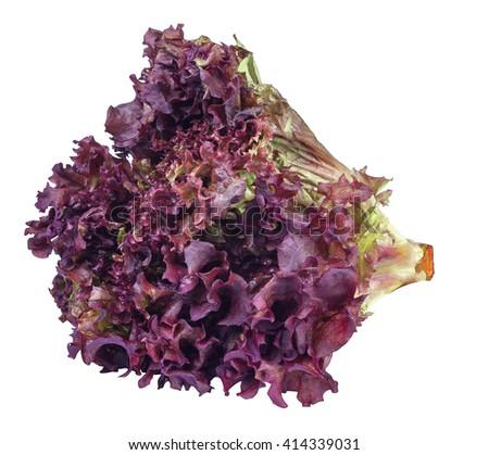 sheaf of purple lettuce isolate. Fresh vegetable salad Lollo Rosso - stock photo