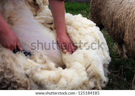 shearing of white sheep - stock photo