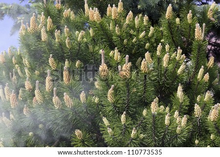 Shedding of pollen from the blossoms of spring decorative pine tree  background. Selective focus. Airborne Allergens concept