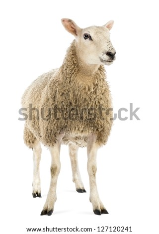 Sheep against white background - stock photo
