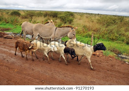 Sheep an donkeys on the side of the run in Africa. - stock photo