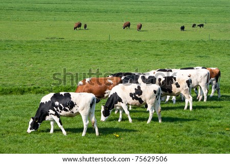 Sheep and cows grazing in a farmland - stock photo