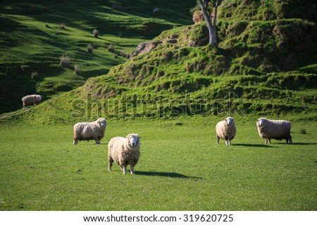 sheep and hill