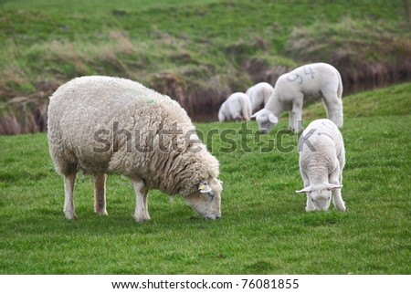 Sheep and lamb - stock photo