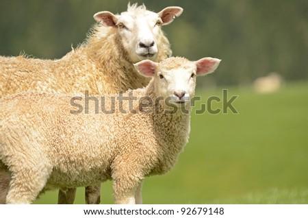 sheep and lamb - stock photo