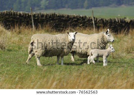 Sheep and lamb in the Peak District National Park Derbyshire