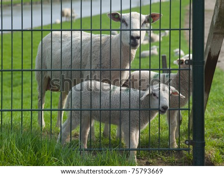Sheep and lambs behind an iron fence, lamb bites on fence - stock photo