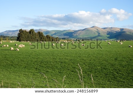 Sheep and lambs in green grass field and mountain background in rural of New Zealand - stock photo