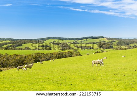 Sheep and lambs in the field at spring time under bright blue sky - stock photo