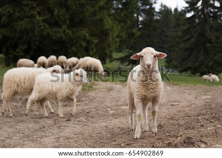 Sheep and lambs near the forest