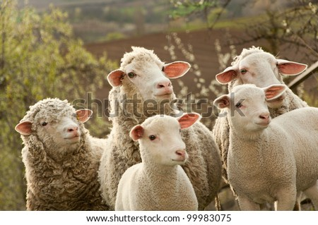 Sheep and lambs on pasture - stock photo