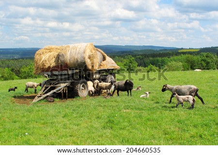 Sheep and lambs on pasture in Brdy, West Bohemia, European union. - stock photo