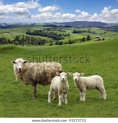 Sheep and two lambs grazing on the picturesque landscape background, Waikato,  New Zealand. - stock photo