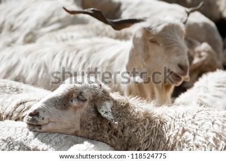 Sheep and white kashmir (pashmina) goat from Indian highland farm in Ladakh - stock photo