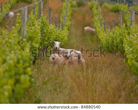 sheep are grazing in organic vineyard in marlborough wine region New Zealand - stock photo