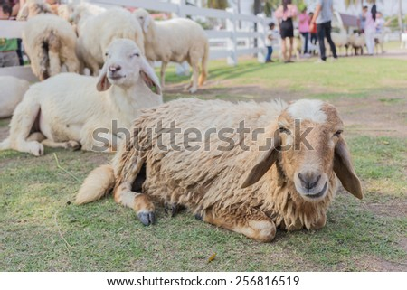 sheep are take a rest on pasture - stock photo