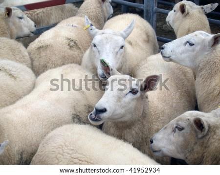 Sheep at Market - stock photo