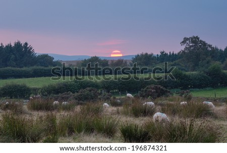 Sheep at sunset in Welsh landscape - stock photo