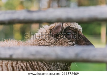 Sheep behind the fence - stock photo