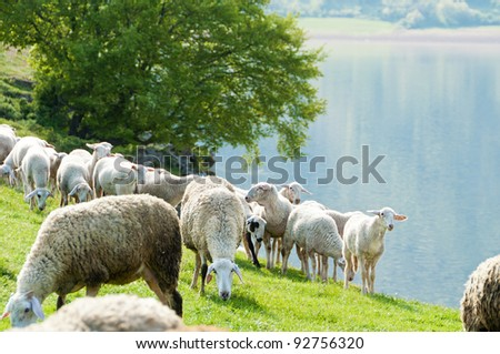 Sheep  by the lake - stock photo