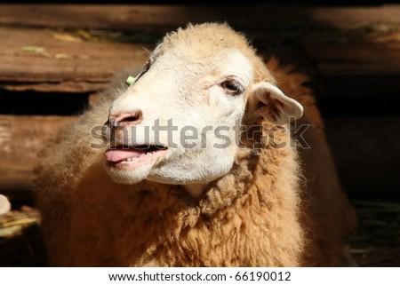 sheep calling !! - stock photo