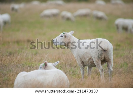 Sheep chewing grass - stock photo