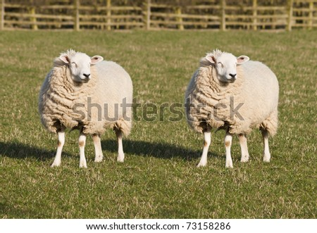 Sheep Cloning. Two identical sheep standing in a field.  - stock photo