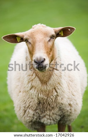 sheep close up - cute brown fluffy sheep against nice green meadow - stock photo