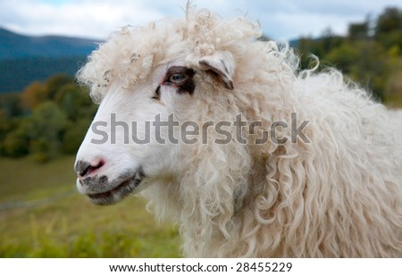 Sheep (closeup) on mountain plateau pasture (Carpathian mountain, Ukraine).