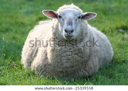 Sheep couching at meadow field - stock photo
