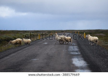 Sheep crossing the road in Iceland  - stock photo