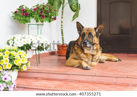 sheep dog laying on porch with flowers - stock photo