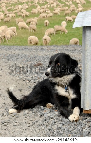 Sheep Dog with Sheep - stock photo
