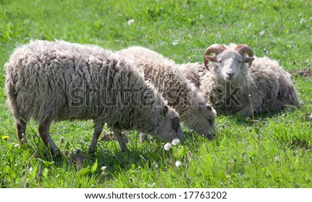 sheep eat grass on meadow
