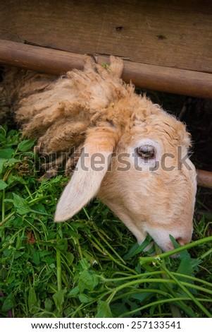 sheep eating grass - stock photo