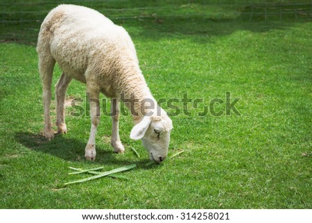 Sheep eating grass in meadow