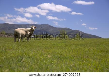 Sheep eating green grass under blue sky - stock photo