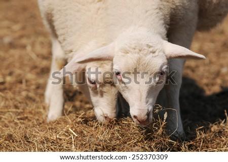 Sheep eating hay - stock photo