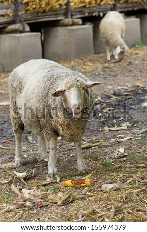 Sheep eats corn on farm and looking in camera - stock photo