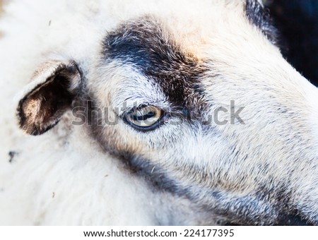 Sheep eye - stock photo