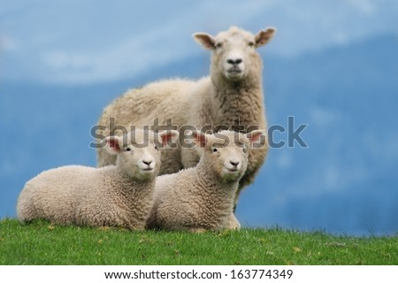 Sheep Family Livestock on a Farm with Young Lambs, New Zealand  - stock photo