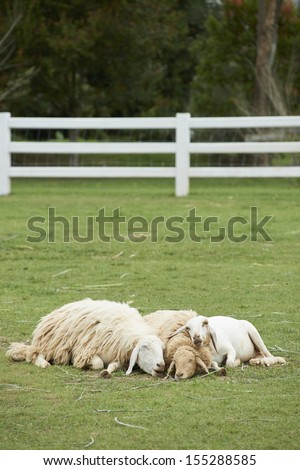 Sheep family sleep together in the field - stock photo